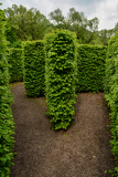 Natural maze, wander between the walls of leaves