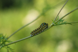 Photo swallowtail caterpillar