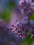 Photo Flower Lilac