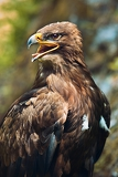 Fotografie close up of the head of a beautiful eagle crossing of steppe and golden eagle with emphasis on the eagles eye