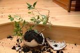 young plant  ficus in a broken flower pot