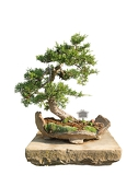 bonsai tree with white background  chinese juniper