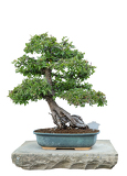 Photo bonsai tree with white background  chinese elm