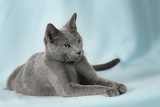 Fotografie cats breed russian blue on the blue background