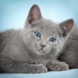 Fotografie kittens breed russian blue on the blue background