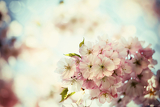 Fotografia vintage photo of white cherry tree flowers in spring