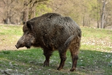 Fotografie wildboar in the forest