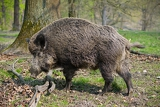 Photo wildboar in the forest