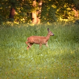 Photo roe doe deer standing in free nature