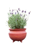 Fotografie lavender herb plant in flower growing in a terracotta pot over white background