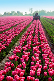 Fotografia tractor afield that the truncated tulip