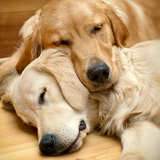 Fotografie view of two dogs lying  golden retriever