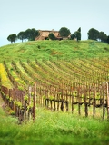 Photo summer vineyard  as background in tuscany