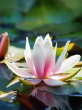 Fotografie beautiful lotus flower and background