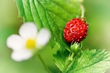 closeup of a wild strawberry with berries and florets