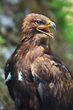 close up of the head of a beautiful eagle crossing of steppe and golden eagle with emphasis on the eagles eye