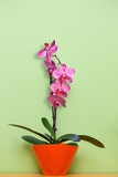 pink orchid in a pot on green background