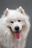 Photo portrait of a beautiful dog breed  samoyed