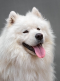 portrait of a beautiful dog breed  samoyed