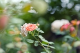 Fotografie beautiful bud of rose with soft focus as flower background