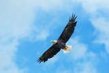 Fotografia american bald eagle circling in the air