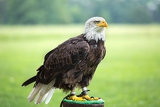 an american bald eagle perched on perch