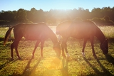 Photo portrait of a horse grazing in the sun backlighting