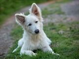 Fotografie portrait of beautiful dog  white swiss sheepdog