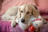 Photo dog lying on the bed with his head resting on a plush cushion  golden retriever
