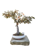 bonsai tree with white background  cherrytree