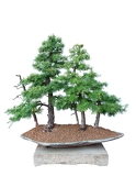 bonsai tree with white background  larch  larix decidua