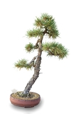 Fotografie bonsai tree with white background  pine forest
