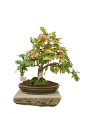 Photo bonsai tree with white background  pedunculate oak