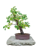 bonsai tree with white background  padellus mahaleb