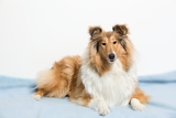 Fotografia collie lying on a blue mat