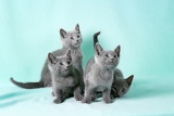 Photo kittens breed russian blue on the color background