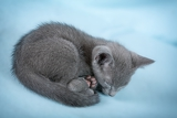 sleeping kitten breed russian blue on a blue background