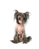 Fényképek chinese crested dog hairless dog in front of a white background