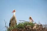 a couple storks in nest against the blue sky ciconia ciconia