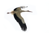 Fotografie white stork flying  on white background
