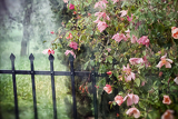 dreamy rose garden with metal fence