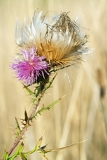 blossoming prickly burdock in beams of the sun