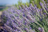 Photo closeup of lavender in a field with shallow depth of field