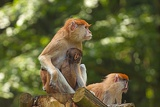 family of monkeys  photographed in zoo