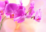 beautiful pink orchid isolated on a blur background