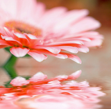 closeup daisy  gerbera with soft focus reflected in the water