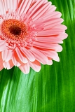 Fotografie pink gerbera on background green leaf
