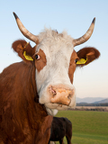 closeup portrait of horned cow head over green pasture outdoors