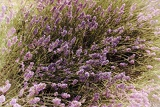 Fényképek lavenders closeup with blur background