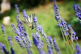 Fotografia butterfly named scarce swallowtail in floral ambiance